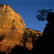 Solitary juniper growing right out of the rock in Zion National Park, Utah.