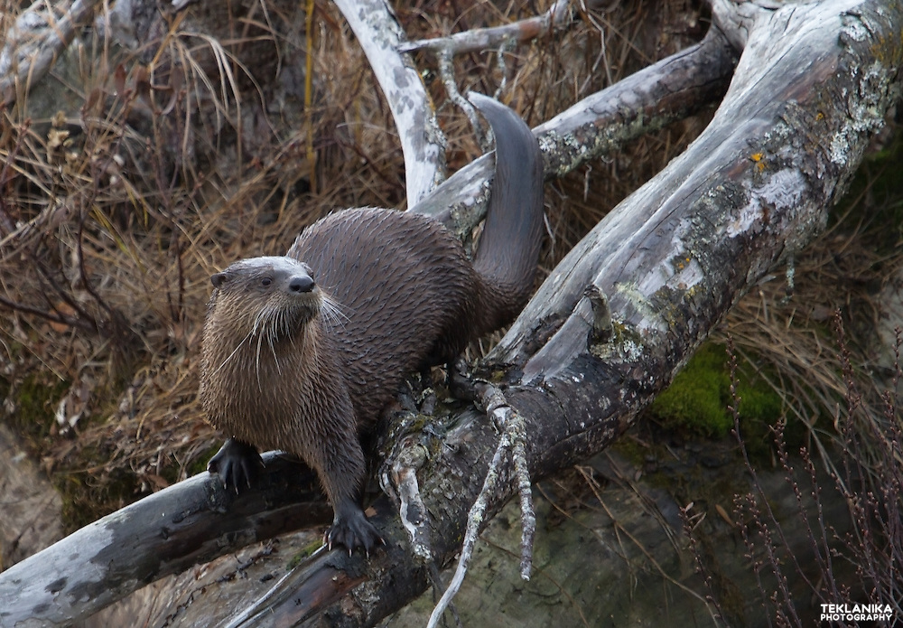 A river otter climbs a log along the shore of a pond.