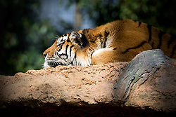 01.04.2016, Zoo, Duisburg, GER, Tiere im Zoo, im Bild Tiger liegt // during visit to the Zoo. Duisburg, Germany on 2016/04/01. EXPA Pictures © 2016, PhotoCredit: EXPA/ Eibner-Pressefoto/ Hommes<br /> <br /> *****ATTENTION - OUT of GER*****