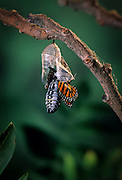 Emerging monarch butterfly (Danaus Plexippus). The butterly is pushing itself out of the chrysalis casing. (5 0f 11).