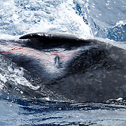 Female humpback whale calf (Megaptera novaeangliae) with mysterious scraping injuring along its right flank. This type of wound is relatively common among the humpback whales that visit Tonga. The scraping pattern is usually seen along both sides of the dorsal ridge, from the dorsal fin to the fluke, with bilateral symmetry.