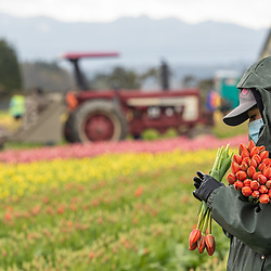 Skagit Valley Tulip Festival 2021