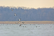 Canvasbacks in flight