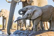 African Elephant<br /> Loxodonta africana<br /> Calves drinking at waterhole<br /> Mashatu Game Reserve, Botswana