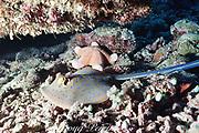 bluespotted fantail stingray or ribbontail ray, Taeniura lymma, Layang Layang Atoll, Malaysia ( South China Sea )