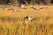 Woodstorks coming in for a landing in marsh