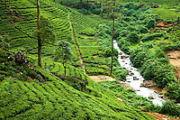 """The  Nuwara Eliya region of Sri Lanka, often called """"Hill Tea Country""""  is the scene of numerous tea estates such as Pedro, St. Claire and Blue Fields who, altogether,  produce much of the premium Ceylon tea for the world market."""