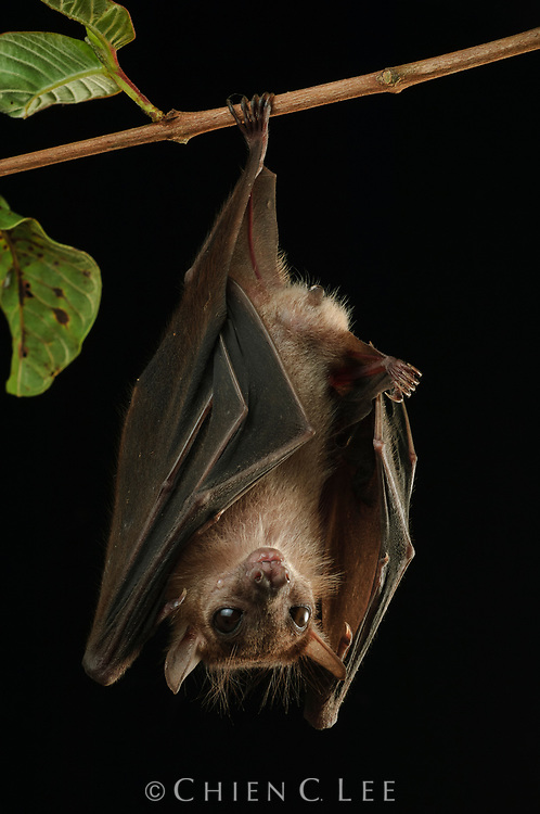The Dusky Fruit Bat (Penthetor lucasi) roosts in large colonies in caves, though like most other fruit bats it is not capable of echolocation and relies on its keen eyesight for navigation.  It emerges at night to feed on a variety of fruits, often carrying food back to its roost to eat. Sarawak, Malaysia (Borneo).