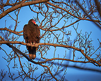 Turkey Vulture in a tree.  Image taken with a Fuji X-T1 camera and 100-400 mm OIS lens (ISO 200, 400 mm, f/5.6, 1/200 sec)