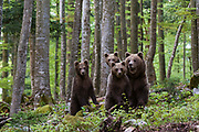 A female European brown bear, Ursus arctos, and its three cubs standing.