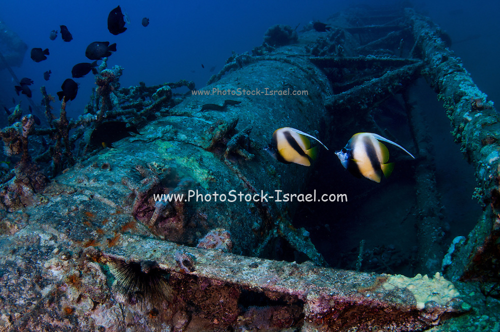 Underwater photograph of a two Red Sea bannerfish (Heniochus intermedius)  This fish inhabits coral reefs in the tropical western Indian Ocean, including the Red Sea. It feeds on small invertebrates and zooplankton, and can reach a length of around 18 centimetres. Photographed in the Red Sea, Eilat, Israel