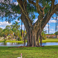 Southeast Florida Banyan Tree magic photography with an ibis at the Dreher Park in West Palm Beach in Palm Beach County, FL.  <br />