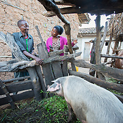CAPTION: Stanislas has undergone training in the rearing of animals such as rabbits, goats and pigs, and receives ongoing support in this from SDA-IRIBA's representative Gisèle even now. He is able to sell their produce, as well as their young ones, for a good price at the local market. Presently, he is providing for the family through animal rearing (he has nine goats and two pigs), crop production and other agricultural activities, and is hopeful that he will be able to continue to sustain his enterprise development initiatives. LOCATION: Rushikiri Village, Kimuna Cell, Rusatira Sector, Huye District, South Province, Rwanda. INDIVIDUAL(S) PHOTOGRAPHED: Stanislas Iriboneye (left) and Gisèle Umumararungu (right).