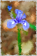 Digitally enhanced image of a Blue Iris or Barbary Nut, (Moraea sisyrinchium syn. Gynandriris sisyrinchium) Photographed in Israel in March a dwarf iris, in the genus Moraea, native to southern Europe and the Mediterranean region