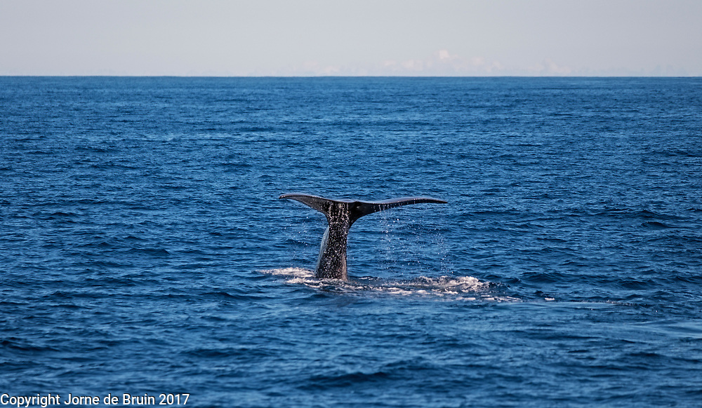 The tail of a whale emerges just above the water before diving into the deeps of the atlantic ocean