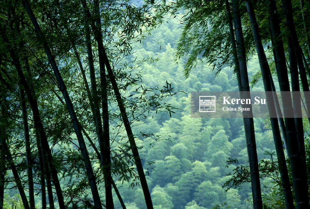 Landscape of bamboo forest, Mt. Huangshan (Yellow Mountain), Anhui Province, China