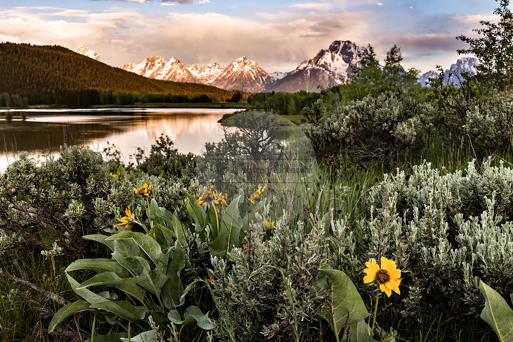 Wild black-eye Susan flowers bloom with Mount Moran and the Grand Teton mountains reflected on the Snake River at Oxbow Bend at dawn with the rising sun reflected on clouds at the Grand Teton National Park in Moran, Wyoming.