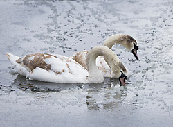 © Licensed to London News Pictures. 24/01/2021. London, UK. Young swans peck at the ice on Heron Pond in a snowy Bushy Park in south west London. A band of snow is crossing the south east this morning as temperature remain just above freezing. Photo credit: Peter Macdiarmid/LNP
