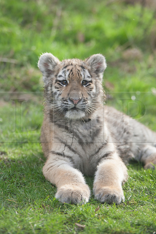 © London News Pictures. 04/02/2013. Five month old Arina the Siberian tiger cub. Howletts Wild Animal Park in near Canterbury, Kent, officially announces endangered Siberian cubs debut. Siberian or Amur tigers are endangered in the wild and it is estimated that only 400 remain. Picture credit should read Manu Palomeque/LNP
