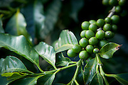 Manhuacu_MG, Brasil.<br /> <br /> Plantacao de cafe em Manhuacu, Minas Gerais.<br /> <br /> Cofee tree in Manhuacu, Minas Gerais.<br /> <br /> Foto: ALEXANDRE MOTA / NITRO