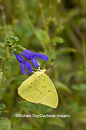 03091-00815 Cloudless Sulphur (Phoebis sennae) at Blue Ensign Salvia (Salvia guaranitica ' Blue Ensign') in Marion County, IL