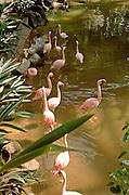 Pink flamingos at the Minnesota Zoo.  Apple Valley Minnesota USA