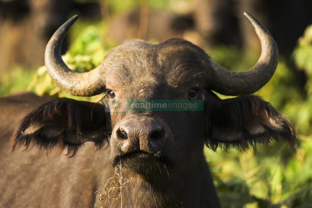 July 21, 2019 - African Buffalo  (Credit Image: © Carson Ganci/Design Pics via ZUMA Wire)