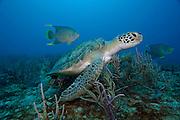 Green Sea Turtle, Chelonia mydas, swims offshore Palm Beach County, Florida