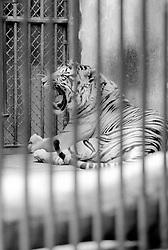 A tiger lounges in its cage at the Parc Zoologique de Paris in the Bois de Vincennes, Tuesday, June 10, 1984, in Paris. (Photo by D. Ross Cameron)