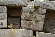 Northern Viscacha or Vizcacha, Lagidium peruanum, at Machu Picchu, Peru, UNESCO World Heritage Site