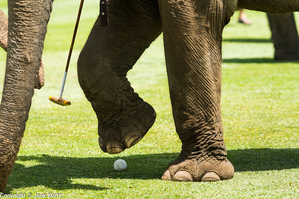 """29 AUGUST 2013 - HUA HIN, PRACHUAP KHIRI KHAN, THAILAND: An elephant steps on a polo ball during the King's Cup Elephant Polo Tournament in Hua Hin. The tournament's primary sponsor in Anantara Resorts and the tournament is hosted by Anantara Hua Hin. This is the 12th year for the King's Cup Elephant Polo Tournament. The sport of elephant polo started in Nepal in 1982. Proceeds from the King's Cup tournament goes to help rehabilitate elephants rescued from abuse. Each team has three players and three elephants. Matches take place on a pitch (field) 80 meters by 48 meters using standard polo balls. The game is divided into two 7 minute """"chukkas"""" or halves. There are 16 teams in this year's tournament, including one team of transgendered """"ladyboys.""""    PHOTO BY JACK KURTZ"""