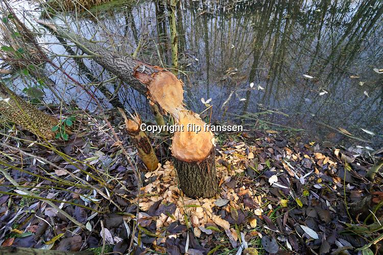 Nederland, Ubbergen, 3-12-2019In een waterrijk deel van het dorp heeft zich een of meerdere bever,bevers, genesteld . Omgeknaagde bomen vormen hiervoor het bewijs. De bever heeft de waterloop aangepast door het aanleggen van dijken van klei en takken zodat het water gestegen is en bomen met de voeten onder water zijn gekomen .  Foto: Flip Franssen