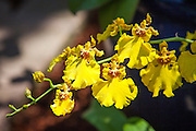 Yellow Oncidium Cebolleta Orchid