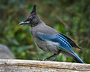 Steller's Jay, Sandia Mountains, New Mexico. Cyanocitta stelleri