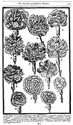 Dianthus (Carnations and Pinks) From John Parkinson 'Paradisi in Sole Paradisus Terrestris' London, 1629. Woodcut.