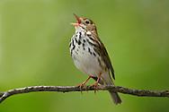 Ovenbird - Seiurus aurocapilla