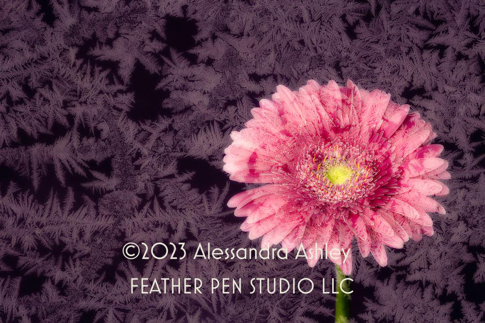 Pink gerbera daisy composited with frozen ice crystals in dark tones.