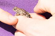 Natterjack toad (Epidalea calamita) handled under licence. Hampshire, UK.