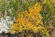 golden hair lichen<br /> Teloschistes flavicans
