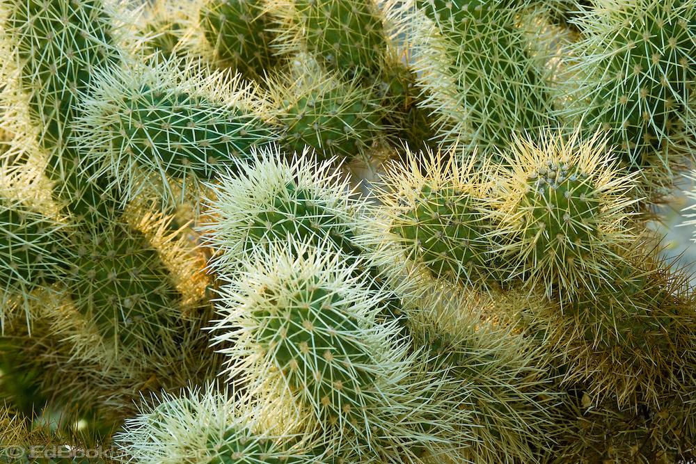 Cholla cactus (Opuntia cholla) in the Anza-Borrego desert, California