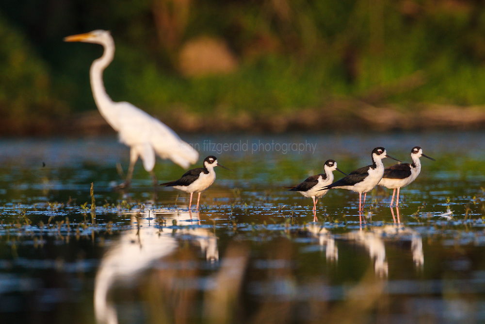Black-necked stilt, Lemon Lake, Great Trinity Forest near Trinity River, Dallas, Texas, USA.
