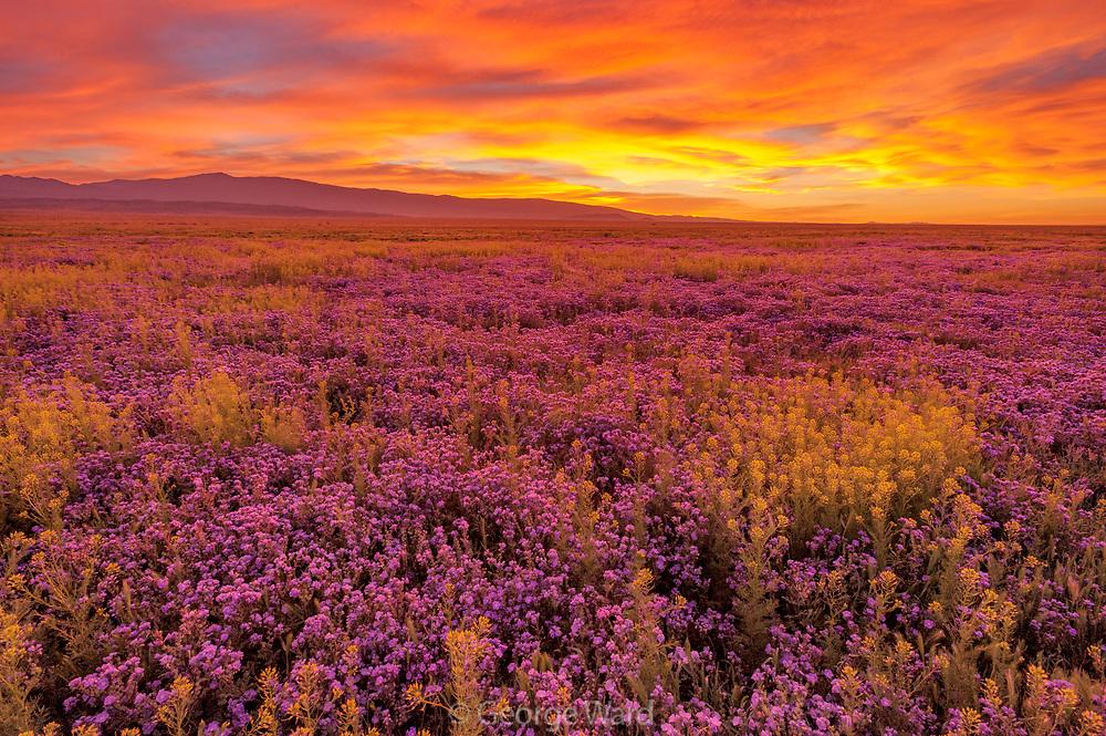 Phacelia and Peppergrass at Sunset,Carrizo Plain National Monument, California