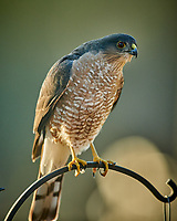 Sharp-shinned Hawk (Accipiter striatus). Image taken with a Nikon D850 camera and 600 mm f/4 VR lens