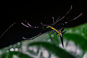 Amazon thorn spider (Micranthena sp., probably A. schreibersi) from the rainforest of eastern Ecuador.