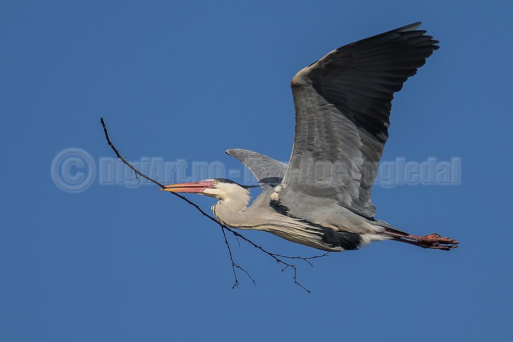 Gray Heron flying with a branch in it's beak, buissy with building nest | Gråhegre flyr med en gren i nebbet, opptatt med å bygge reir.