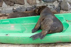 Galápagos Sea Lion In Kayak, San Cristóbal