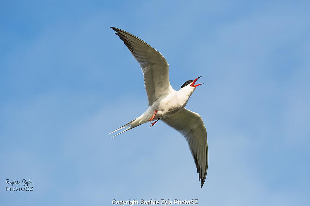 Roseate Tern calling in flight