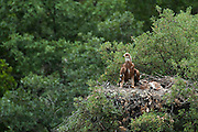 Spanish Imperial Eagle (Aquila adalberti) chicks in nest.<br /> Sierra de Andújar Natural Park, Mediterranean woodland of Sierra Morena, north east Jaén Province, Andalusia. SPAIN<br /> ENDANGERED SPECIES - Endanger of extinction<br /> <br /> Mission: Iberian Lynx, May 2009<br /> © Pete Oxford / Wild Wonders of Europe<br /> Zaldumbide #506 y Toledo<br /> La Floresta, Quito. ECUADOR<br /> South America<br /> Tel: 593-2-2226958<br /> e-mail: pete@peteoxford.com<br /> www.peteoxford.com