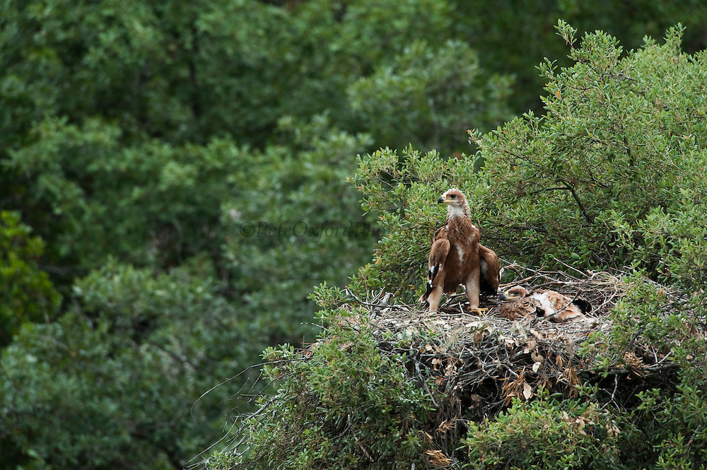 Spanish Imperial Eagle (Aquila adalberti) chicks in nest.<br /> Sierra de Andújar Natural Park, Mediterranean woodland of Sierra Morena, north east Jaén Province, Andalusia. SPAIN<br /> ENDANGERED SPECIES - Endanger of extinction<br /> <br /> Mission: Iberian Lynx, May 2009<br /> © Pete Oxford / Wild Wonders of Europe<br /> Zaldumbide #506 y Toledo<br /> La Floresta, Quito. ECUADOR<br /> South America<br /> Tel: 593-2-2226958<br /> e-mail: pete@peteoxford.com<br /> www.peteoxford.com