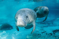 Florida manatee, Trichechus manatus latirostris, a subspecies of the West Indian manatee, endangered. A series of male and female courting or cavorting behavior with more manatee in the background. The couple swims into strong, warming sunlight. A female in the foreground has an eager male following her in the warm freshwater. Horizontal orientation with beautiful blue spring water. Three Sisters Springs, Crystal River National Wildlife Refuge, Kings Bay, Crystal River, Citrus County, Florida USA.